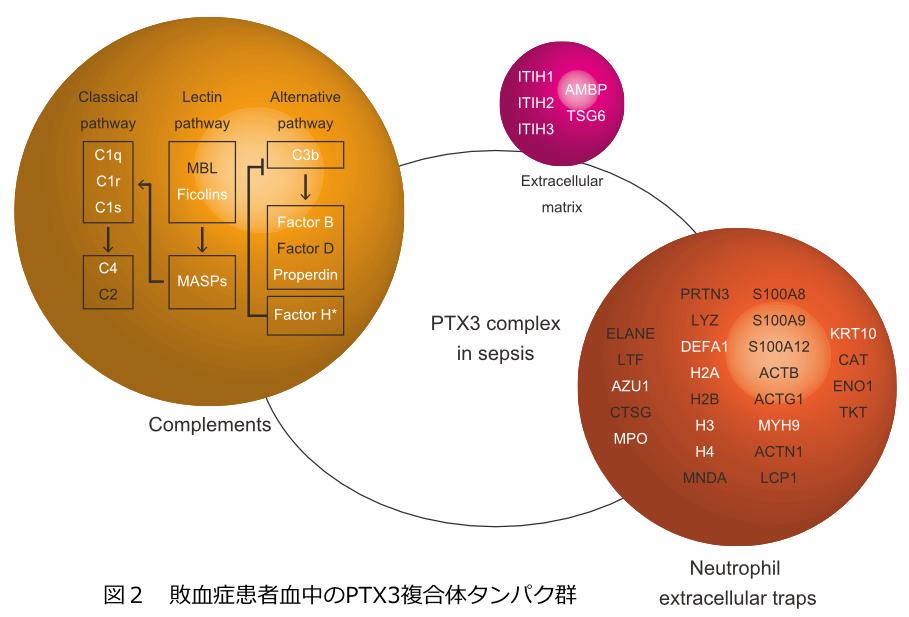 図2 敗血症患者血中のPTX3複合体タンパク群