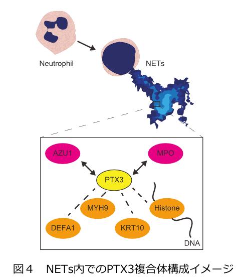 図4 NETs内でのPTX3複合体構成イメージ