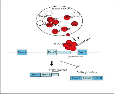 図4. WTAP複合体のスプライシング制御のおける役割(モデル)
